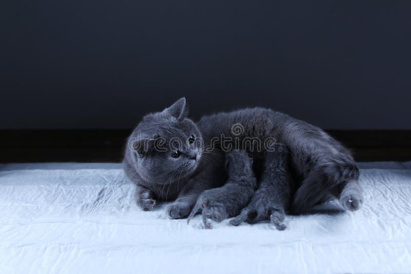 Kot karmi jej nowonarodzone figlarki, czarny t?o zdjęcie royalty free