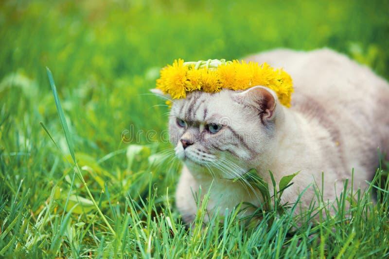 Kot koronujący z dandelion chaplet obrazy royalty free