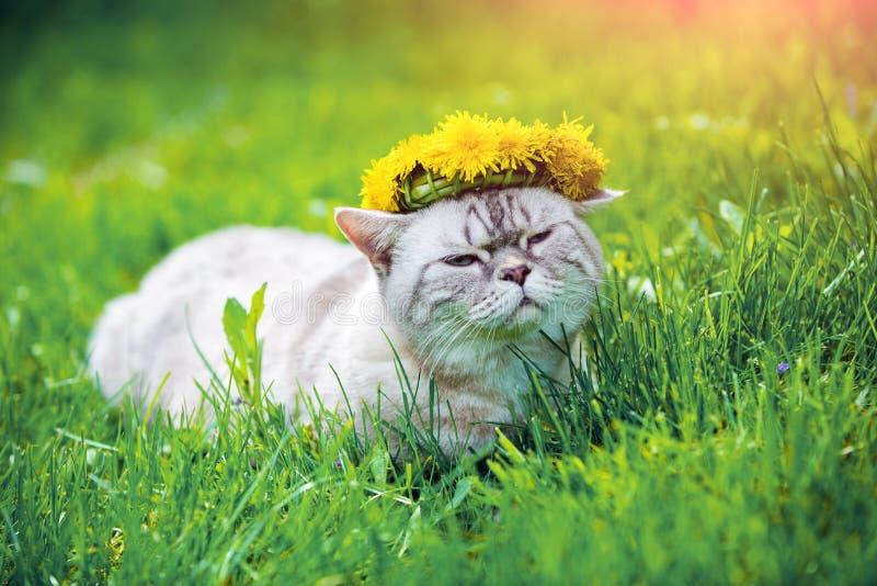 Kot koronujący z dandelion chaplet fotografia stock