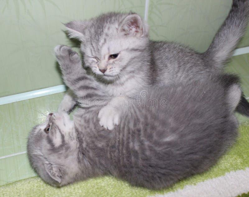 Kot, koty, zwierzęta domowe, szkocki fałd, Szkocki prosty obrazy royalty free