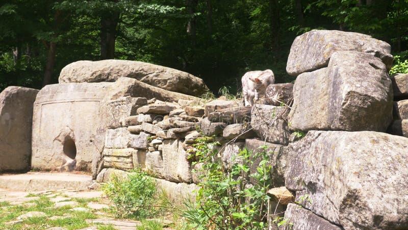 Kot, mieszkaniec dolmeny, dolmen w lesie obrazy stock