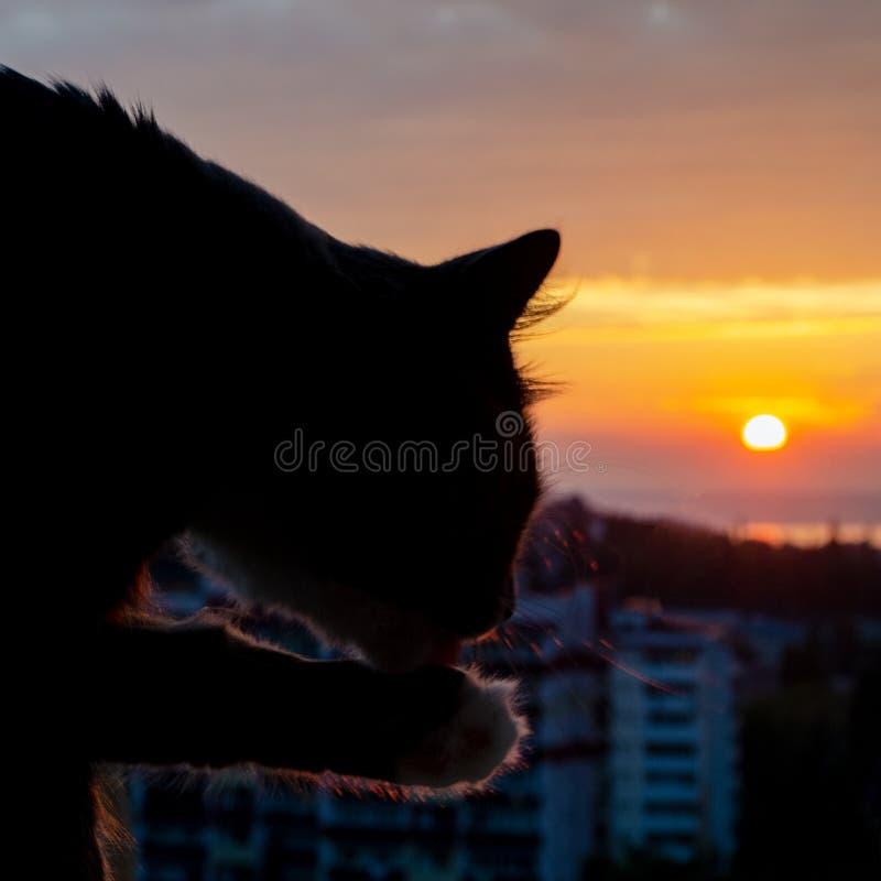 Kot myje przy zmierzchem nad morzem fotografia stock