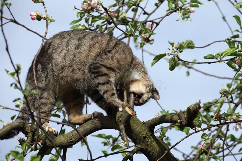 Download Kot na drzewie obraz stock. Obraz złożonej z drzewo, domowy - 53783471