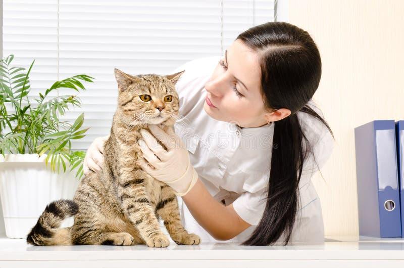 Kot na inspekci przy weterynarzem zdjęcia royalty free