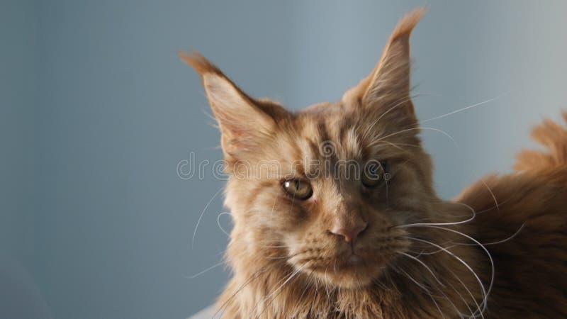 Kot na stole zdjęcia royalty free