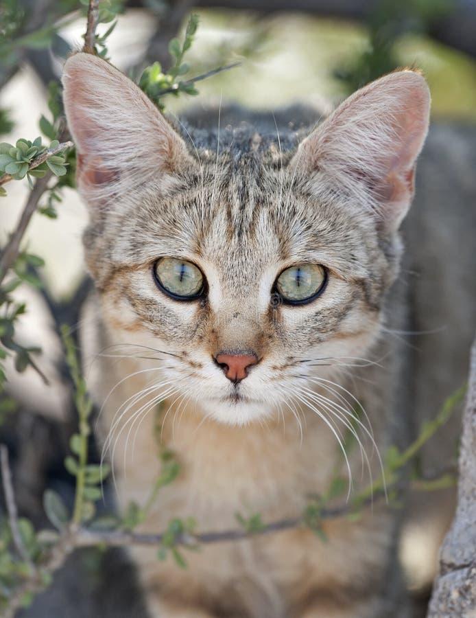 kot nie jest dziki afrykańskiej fotografia royalty free