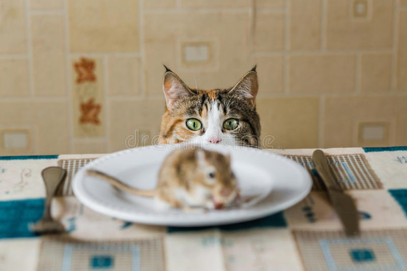 Kot patrzeje mała gerbil mysz na stole przed atakiem Pojęcie zdobycz, jedzenie, zaraza, niebezpieczeństwo, tropi zdjęcie stock