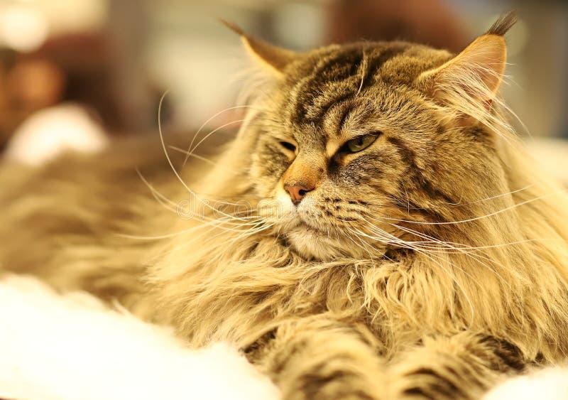 Kot, piękny portret purebred kot obrazy royalty free