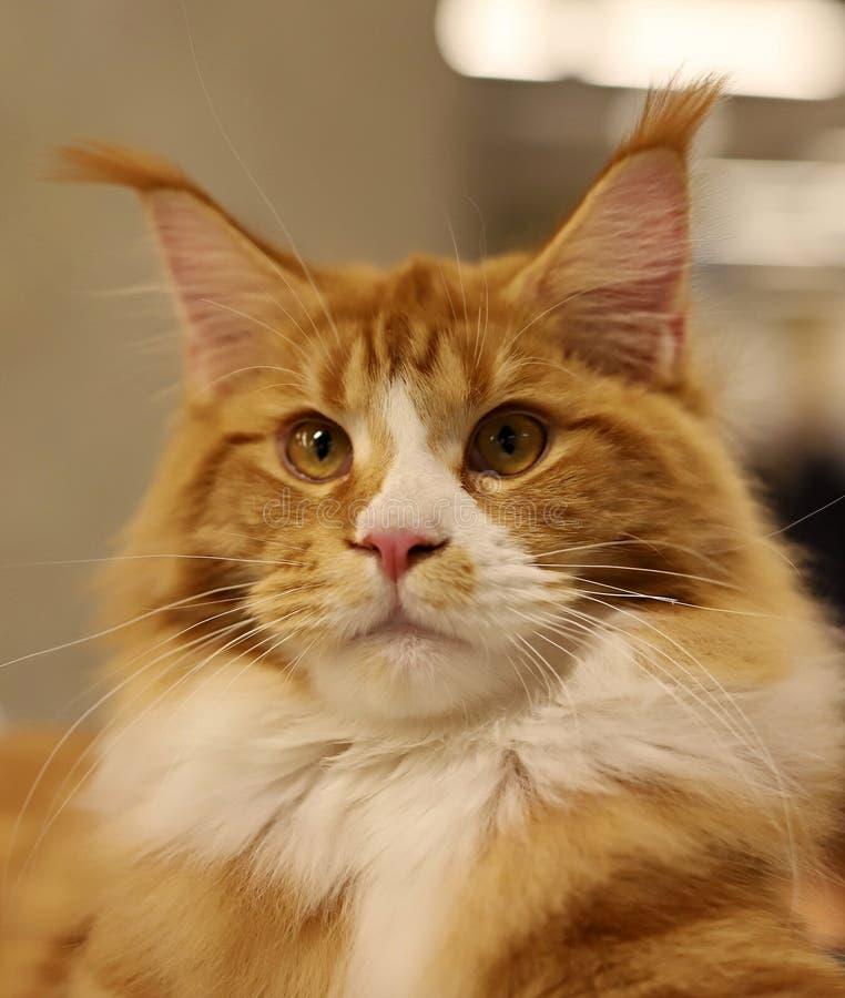 Kot, piękny portret purebred kot fotografia royalty free