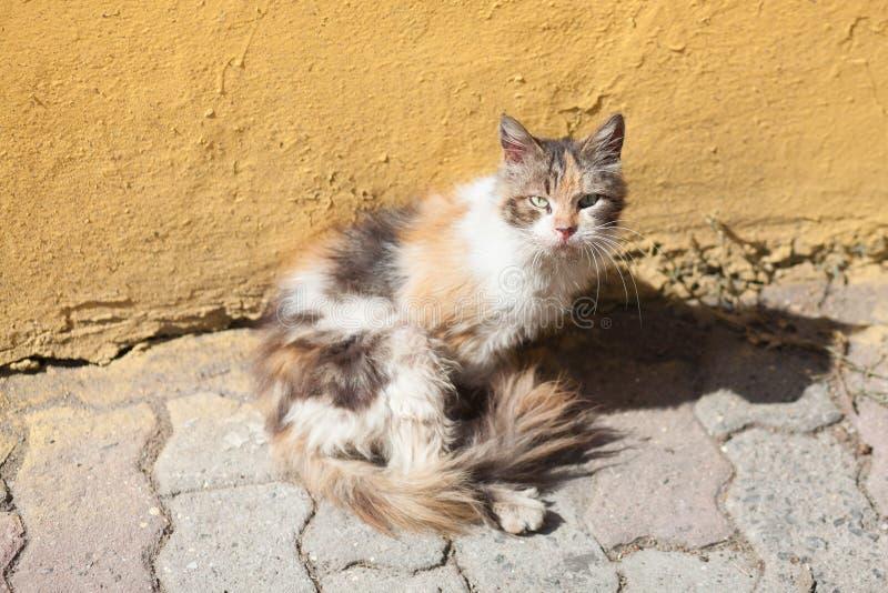 kot przed ocher ścianą zdjęcie royalty free