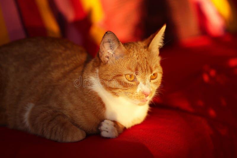 Kot, Przewodzący kot/ zdjęcie stock