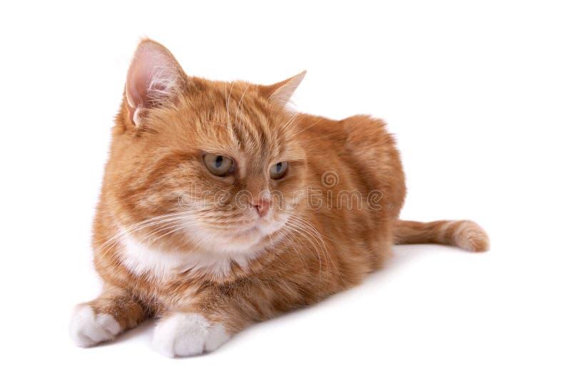 kot przygląda się pomarańczową czerwień zdjęcia royalty free
