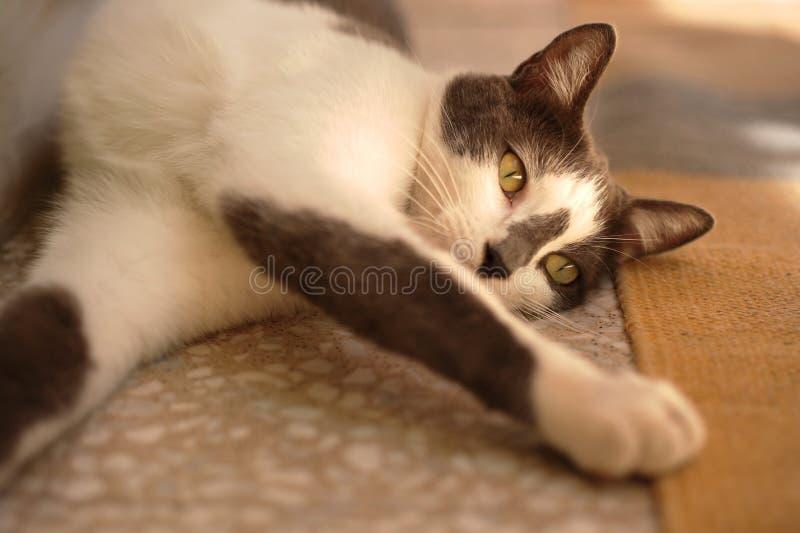 Kot rozciąga swój łapy obrazy royalty free