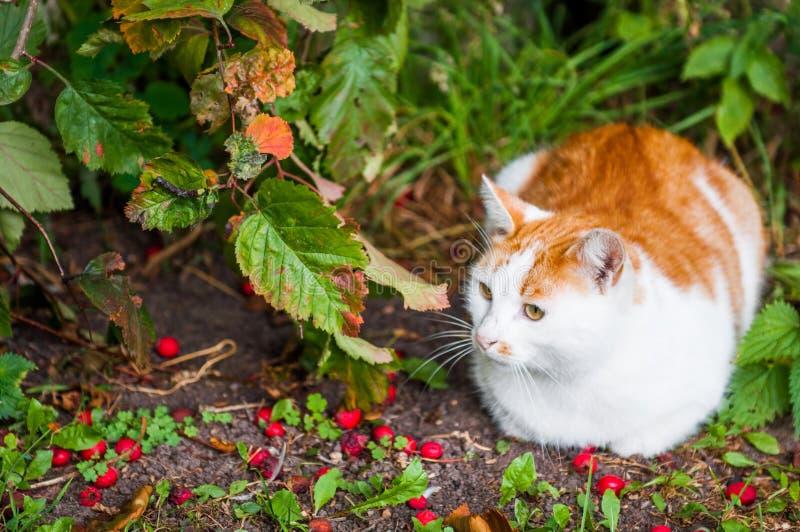 Kot siedzi w czerwonym jagod i jesień liści ulistnieniu zdjęcia royalty free