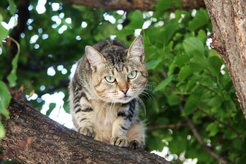 kot szarość zdjęcie stock