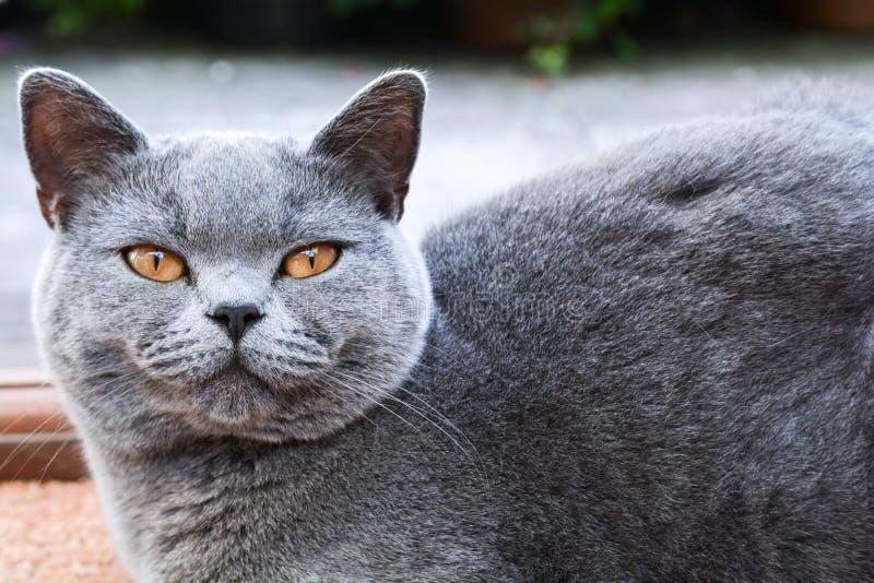 Kot w domu patrzÄ…cy bezpoÅ›rednio na kamerÄ™ obraz royalty free