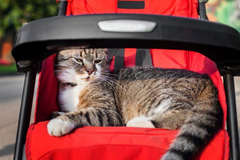 Kot w spacerowiczu zdjęcia stock