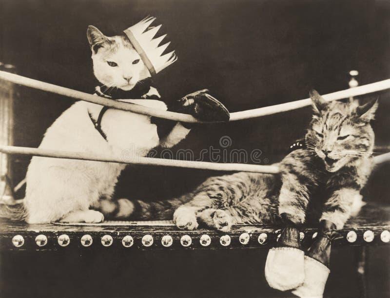 Kot walka zdjęcia royalty free