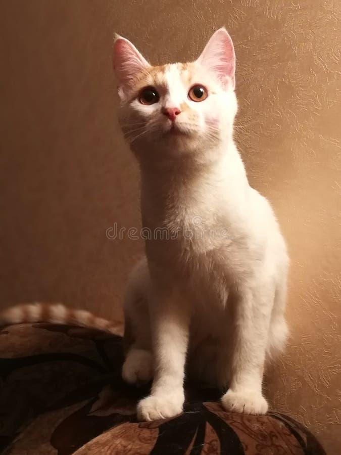 Kot Wielki zdjęcie royalty free