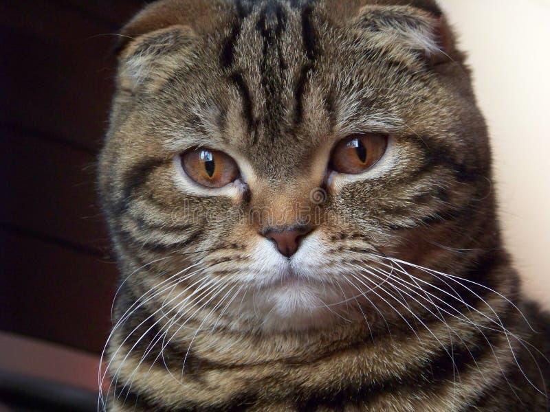kot wielmoża zdjęcia stock