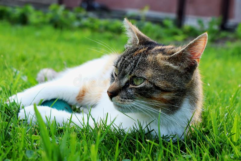 Kot wymieniał liza lying on the beach w trawie z piłką Który nikt bawić się z ona obraża fotografia royalty free