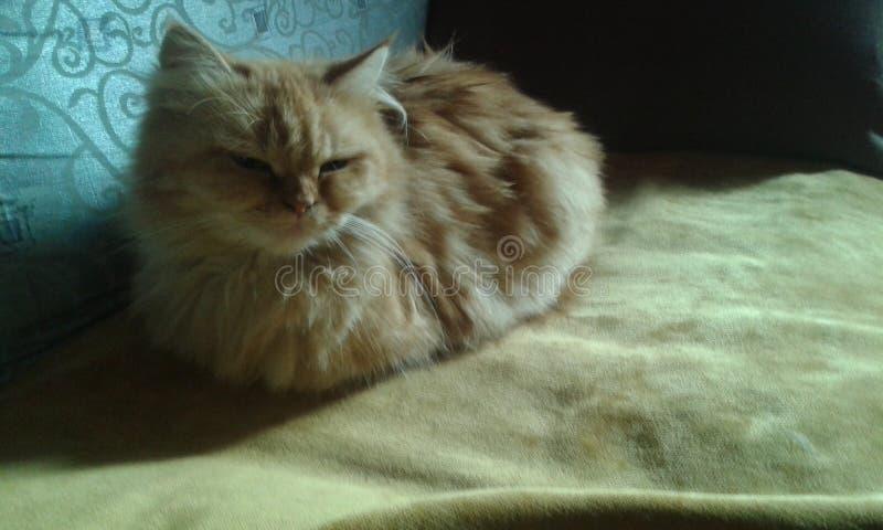 Kot wymieniający koczek zdjęcie royalty free
