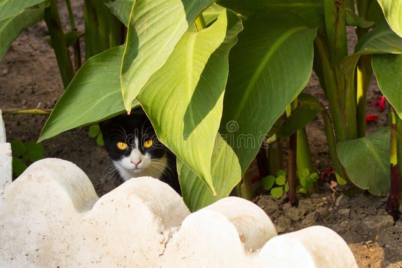 Kot z czarny i biały twarzą jaskrawymi oczami i obrazy stock