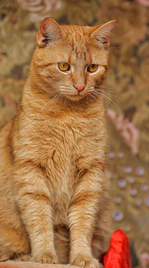 Kot z pomarańczowymi oczami zdjęcia royalty free