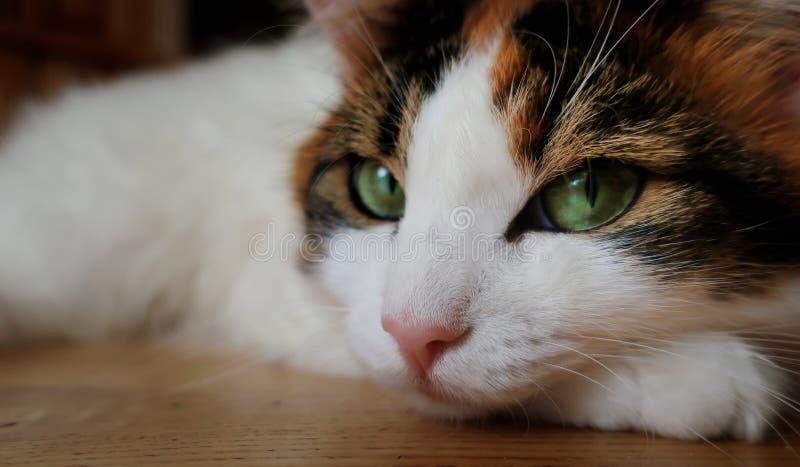 Kot z tajemniczymi zielonymi oczami dla Halloween zamkniętego w górę obrazy stock