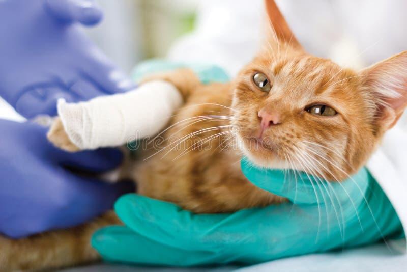 Kot z złamaną nogą obraz royalty free