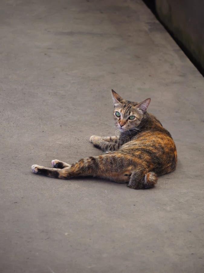Kot z zielonymi oczami, miękki futerkowy kolor żółty, czarny i biały lying on the beach na cementowej podłodze obrazy royalty free