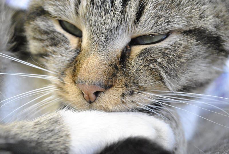 Kot, zwierzę domowe, morcher, spokój, spojrzenie zwycięzca fotografia royalty free