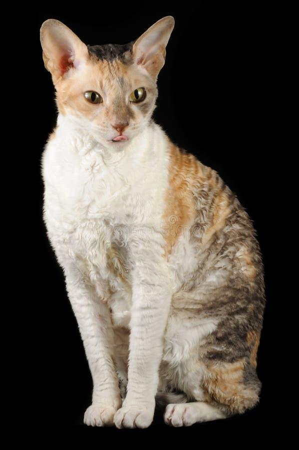 kota śliczny jęzorze swój rex seans jęzor zdjęcia royalty free