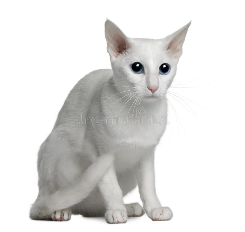 kota (1) rok cudzoziemski stary orientalny biały zdjęcie royalty free