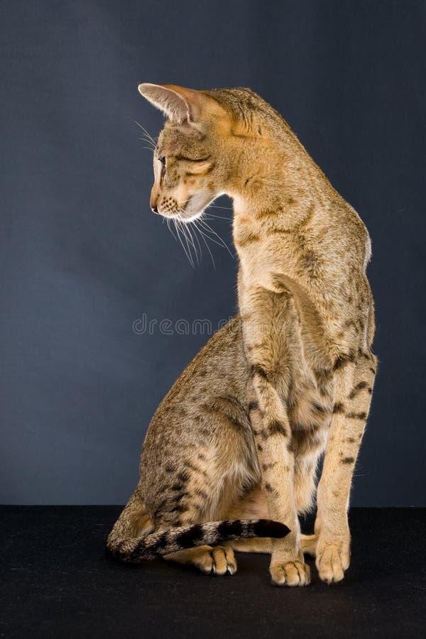 kota czekoladowy Oriental łaciasty tabby zdjęcie stock