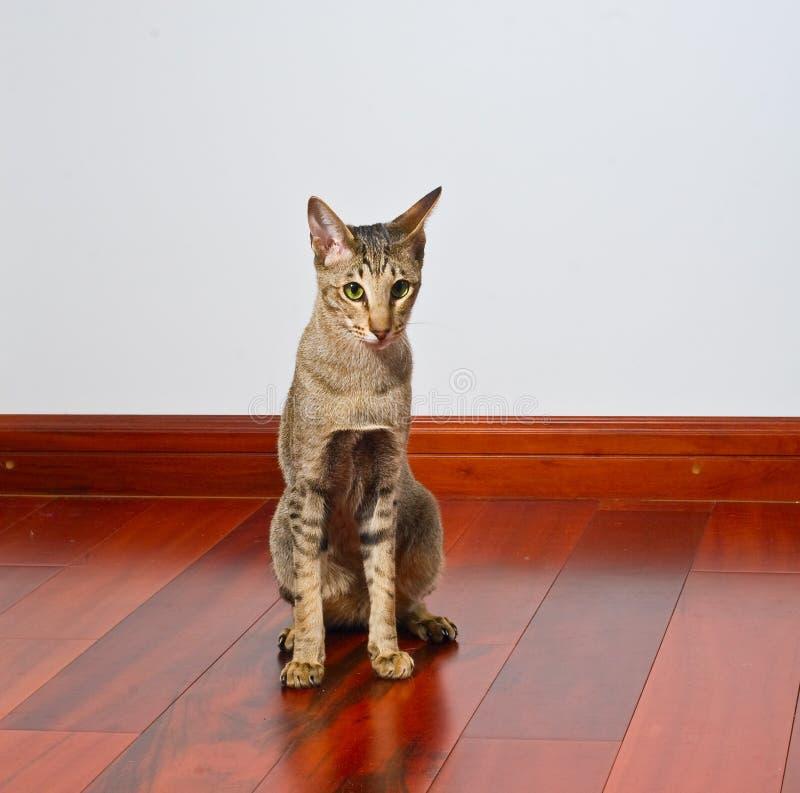 kota drewniany podłogowy orientalny siedzący zdjęcia royalty free