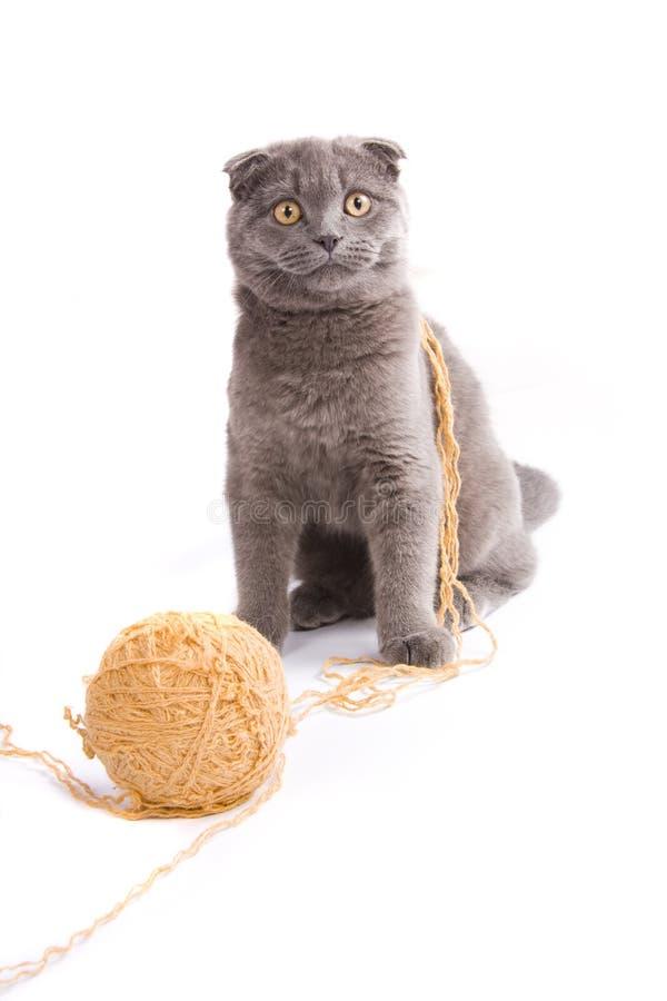 kota fałdu scottish zdjęcie royalty free