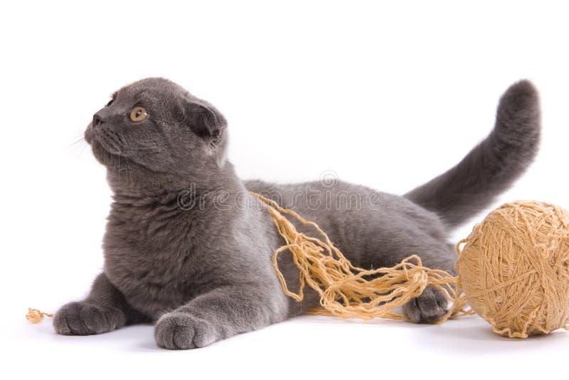 kota fałdu scottish fotografia royalty free