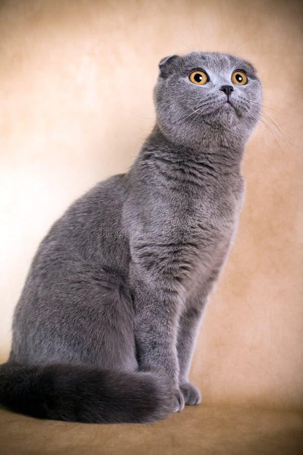 kota fałdu scottish obrazy royalty free