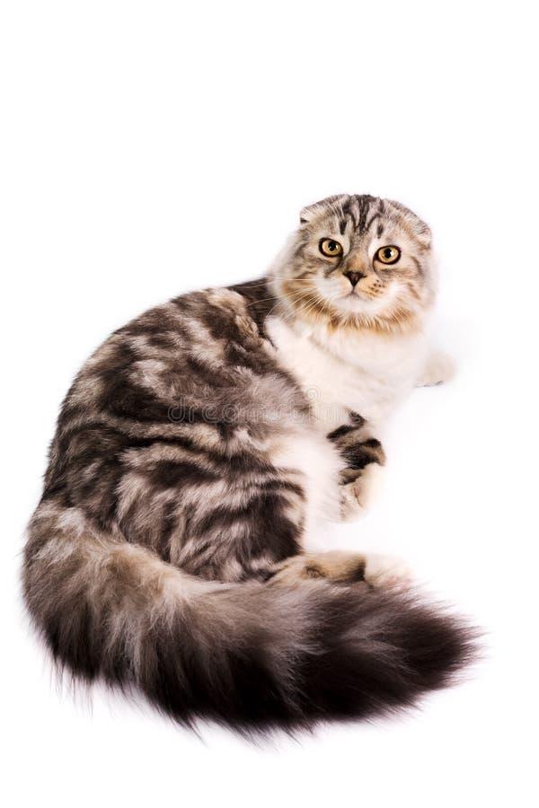 kota fałdu scottish obrazy stock