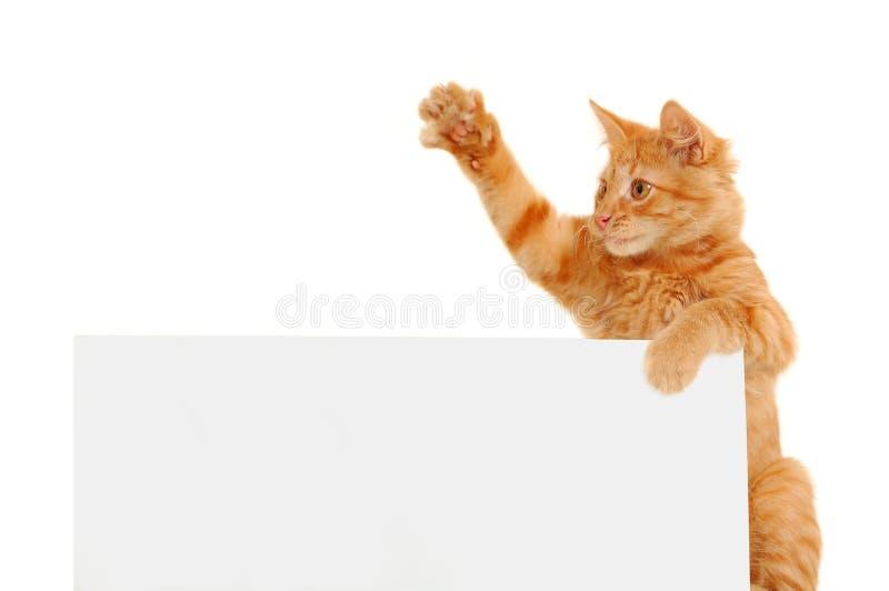 kota głosowanie obraz royalty free