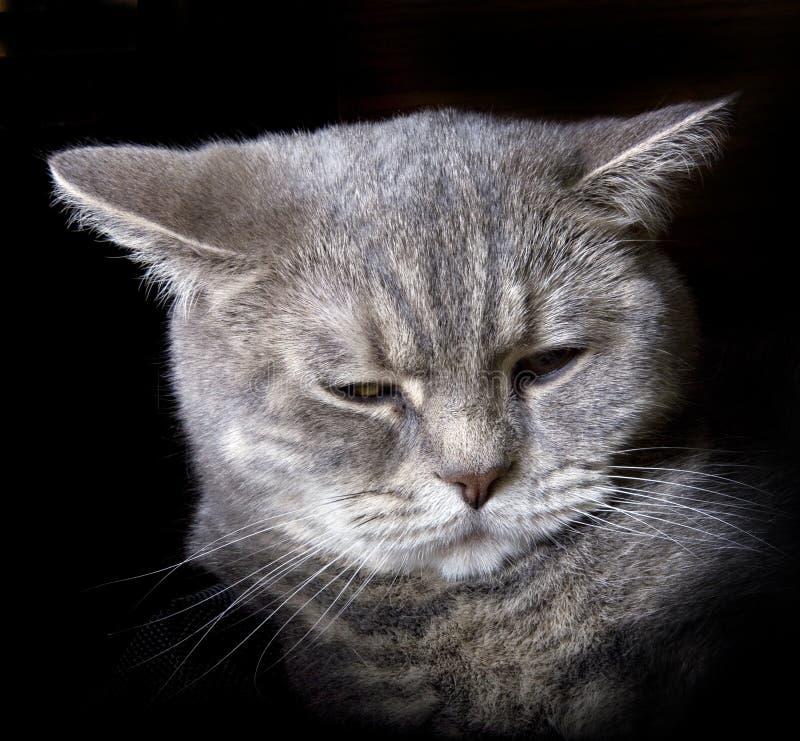 kota grey obrazy stock