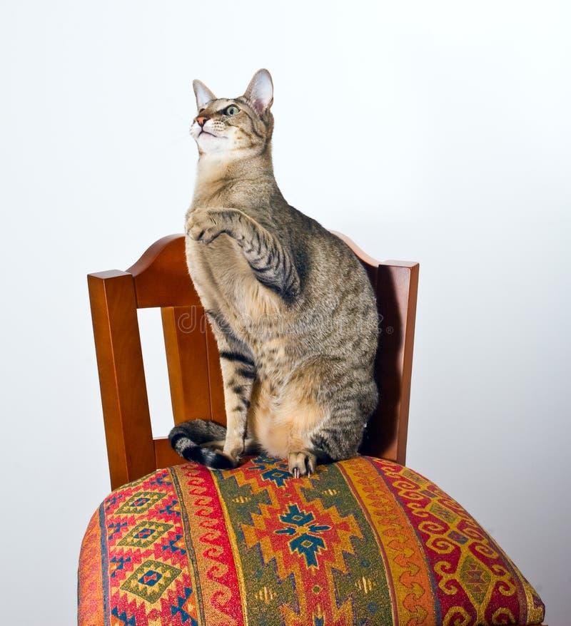 kota krzesła orientalny obsiadanie fotografia royalty free