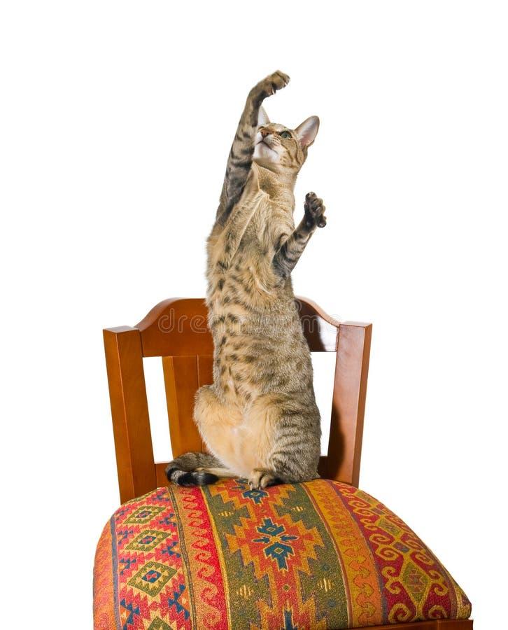kota krzesła orientalny obsiadanie obraz royalty free