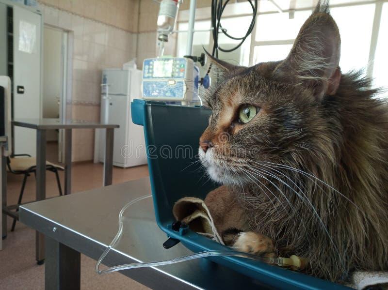 Kota Maine Coon jest w przewożeniu z wkraplaczem w weterynaryjnej klinice chory zwierzę taktować zwierzęcia domowego, opieka o in fotografia royalty free