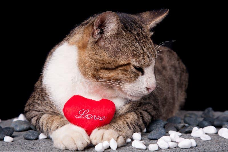 Kota mienia czerwony serce kształtował miłości z czarnym tłem obraz royalty free