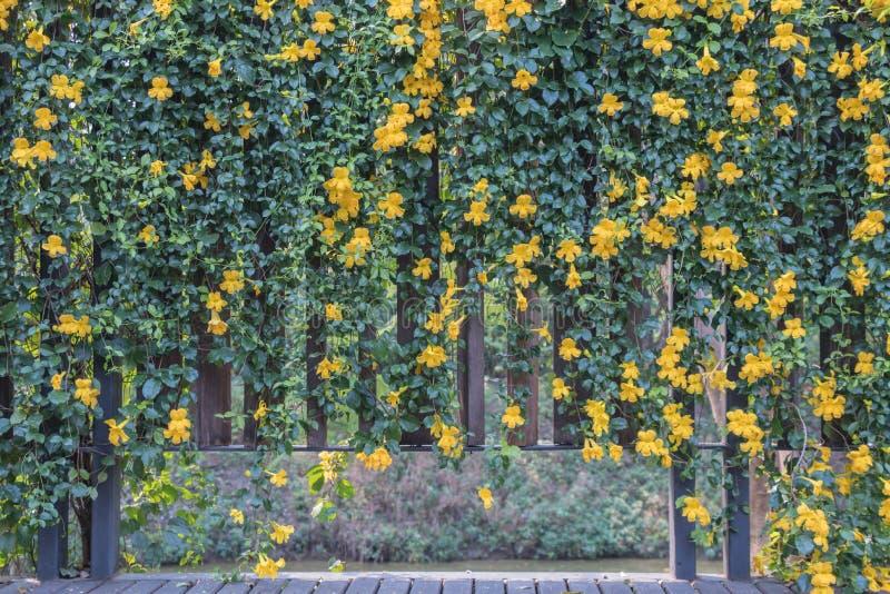 Kota pazura winogradu kwiatu Macfadyena unguis L A H gents obraz stock