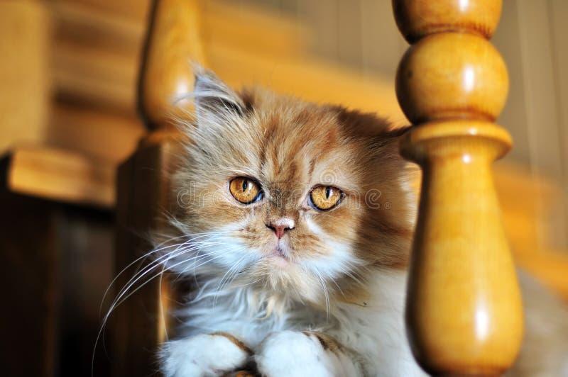 kota persa czerwień fotografia royalty free