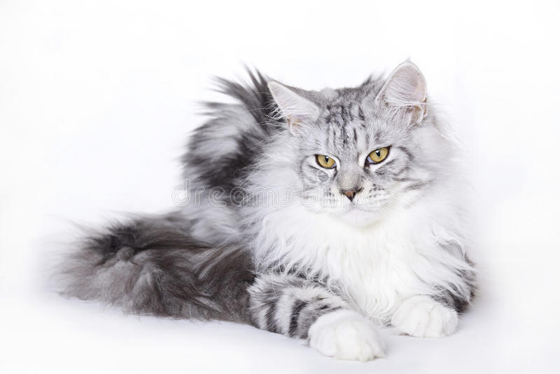 kota piękny coon Maine fotografia royalty free
