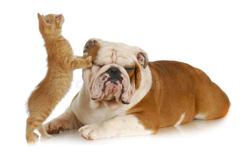 kota pies zdjęcie royalty free